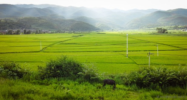 Rice fields Shaxi