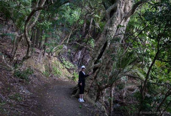 Another Puriri tree on the Wale Bay track