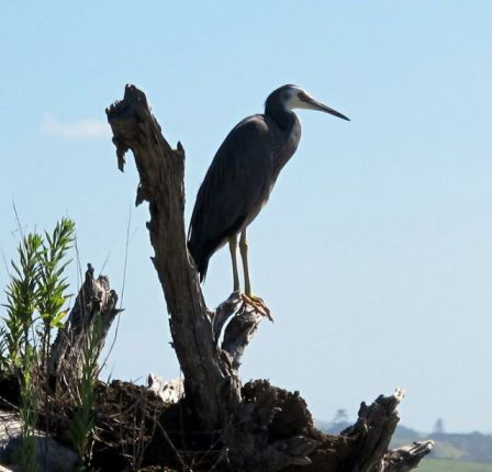 Heron at Clarks Beach - Manukau Harbour