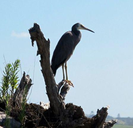 Heron at Clarks Beach - Manukau Harbour