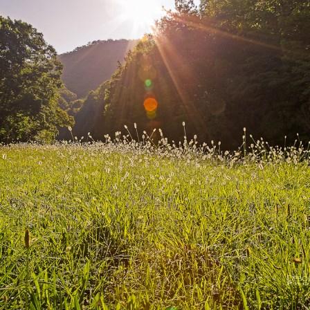Morning Meadow