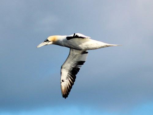 gannet (1)