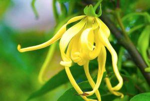 Fleur Ylang Ylang