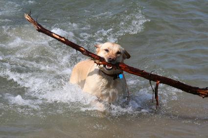 Hond laten zwemmen