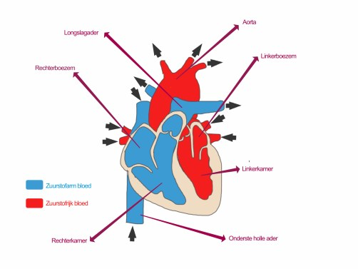 werking van het hart