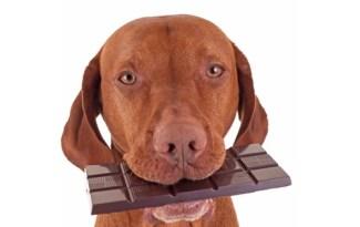 Hond eet chocola