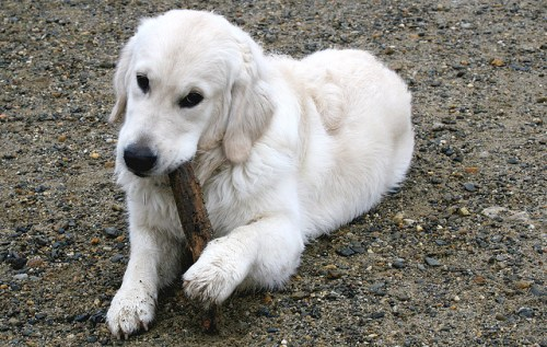 Hond kauwt alles