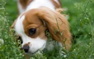 Chien mange de l'herbe