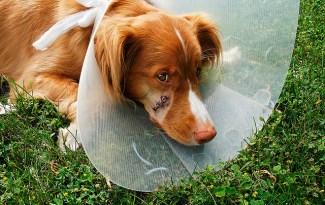 chien blessé