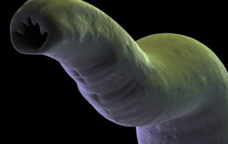 Parasite interne : ver