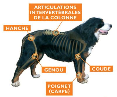 Arthrose chez le chien
