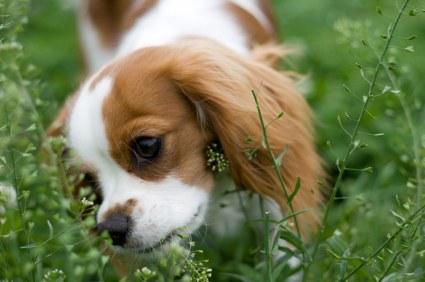 """Résultat de recherche d'images pour """"chien qui mange de l'herbe"""""""