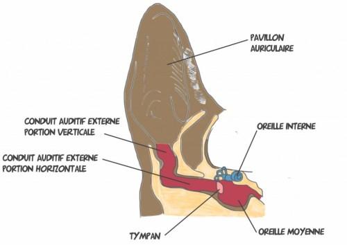 Anatomie oreille de chien å