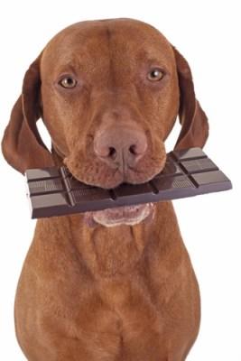 intoxication chien au chocolat