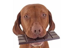 intoxication chocolat chez le chien