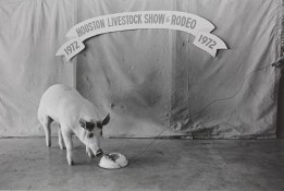 Geoff Winningham , Champion Pig Feeding, Houston Livestock Show and Rodeo, negative 1972, print 1976, gelatin silver print,Dallas Museum of Art, gift of Prestonwood National Bank 1981.36.15