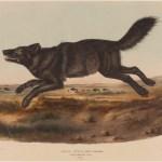 John James Audubon, Canis Lupus (Black America Wolf), 1848
