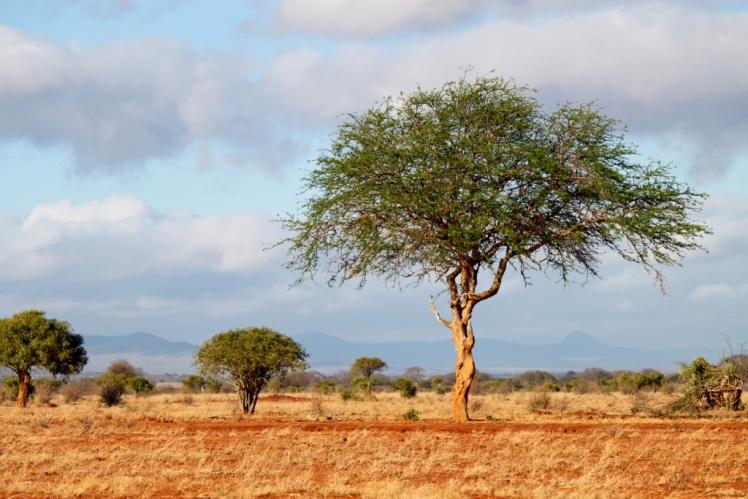beautiful-acacia
