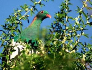 NZ woodpigeon or Kereru. Photo: Sam O'Leary