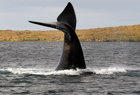 The fluke of a southern right whale.