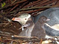 Hoiho and chicks. Photo: C Pullar.