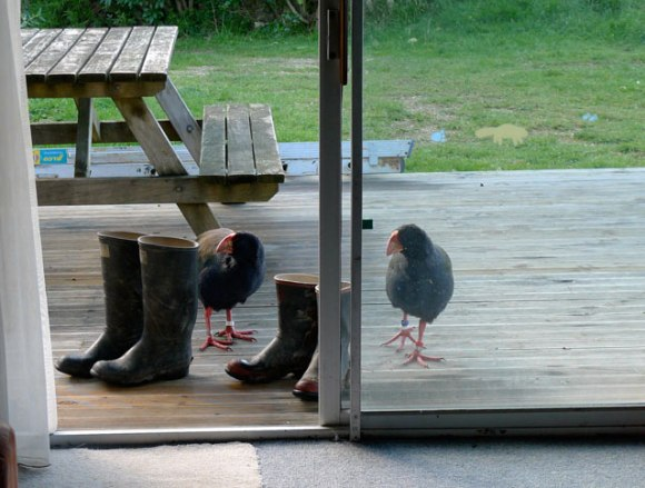 Two pesky and noicy pukeko standing on Chris Birminham's deck.