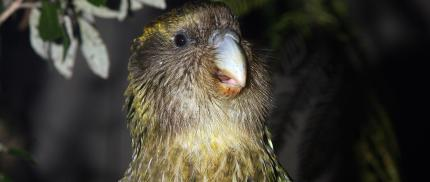 Sirocco kakapo.