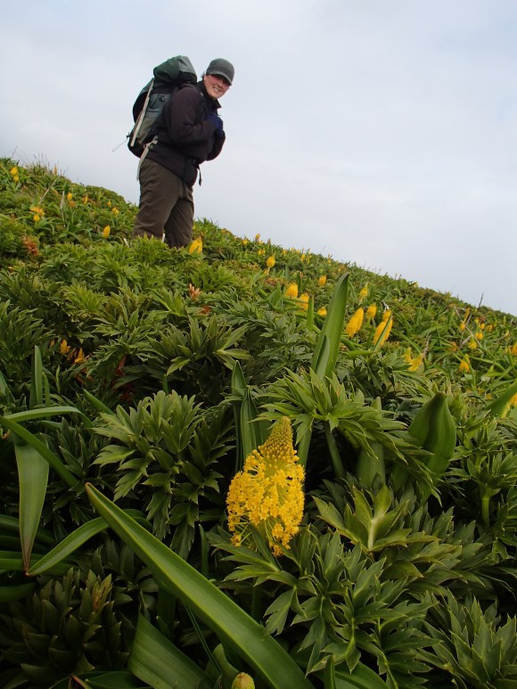 Jo Hiscock amongst the megaherb Bulbinella flowering on Enderby Island (photo: Alison Ballance).