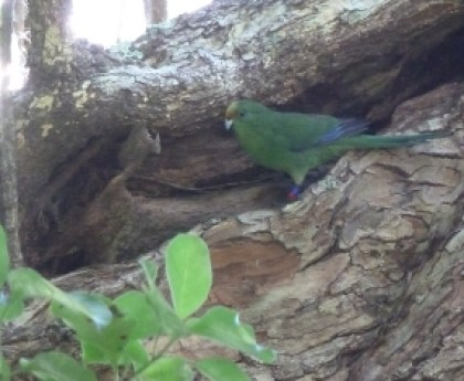 An orange-fronted parakeet on Tuhua from a previous translocation.