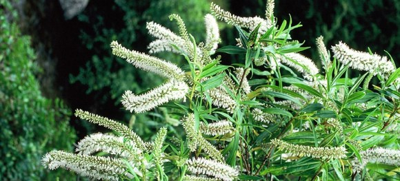 An image of koromiko in flower.