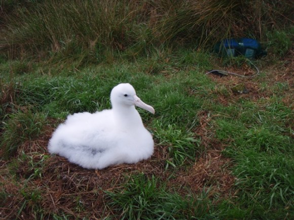 A four month old albatross chick being weighed in the nest on scales.