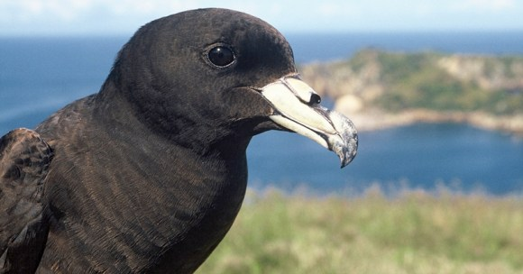 A black petrel up close. Photo by Greene, Terry C.