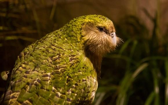 Sirocco on display at Zealandia Sanctuary. Photo: Janice McKenna.
