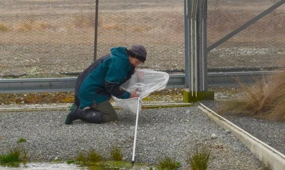 A DOC ranger removes a kakī caught in a net.