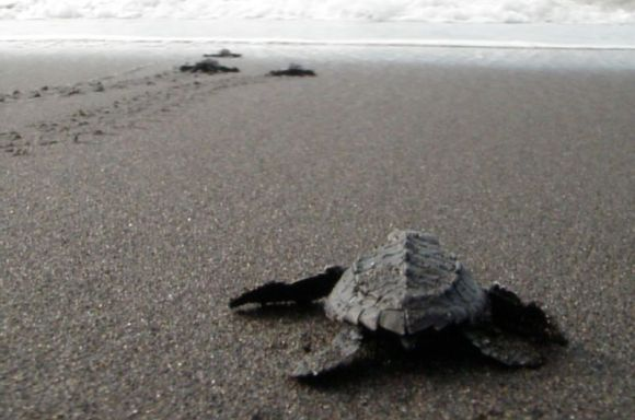 A small turtle being released on a Guatemalan beach.