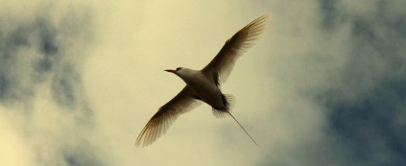 Flying tropicbird. Photo; Sarah Matthew.