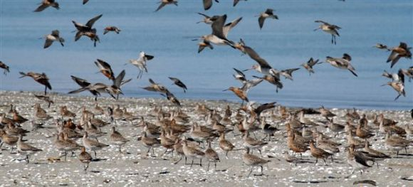 Godwits landing on the Motueka sandspit after their migration from Alaska.
