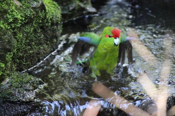 Kakariki taking a bath.