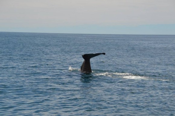 The tale of a sperm whale near Kaikoura.