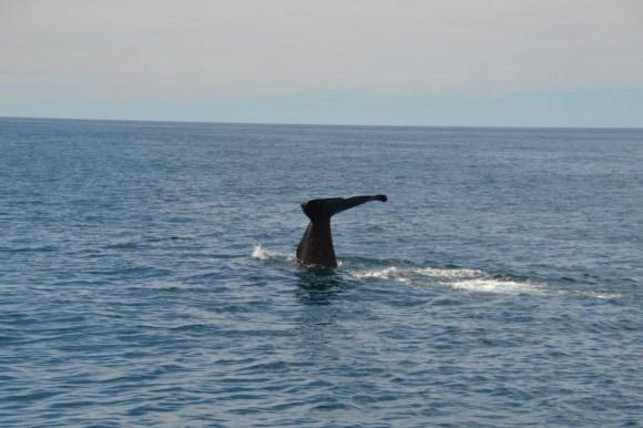 The tale of a sperm whale near Kaikoura.
