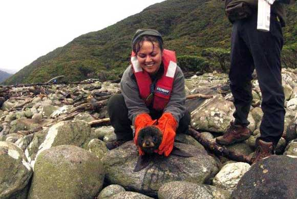 Chloe Corne restraining a feisty fur seal pup on Breaksea Island.