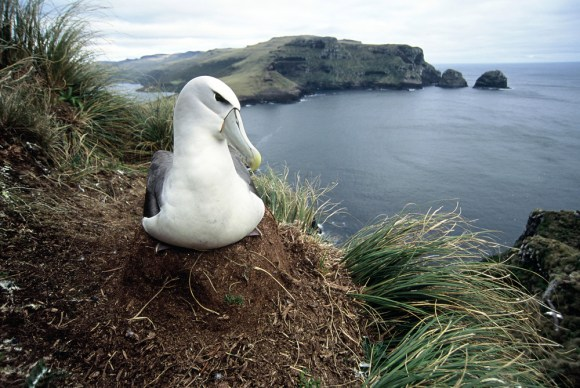 White-capped mollymawk sitting on a nest, Auckland Islands. Photo copyright: Tui De Roy. DOC use only.