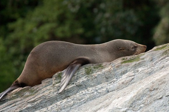 Young Fiordland fur seal. Photo: Andrea Schaffer | flickr | CC BY 2.0