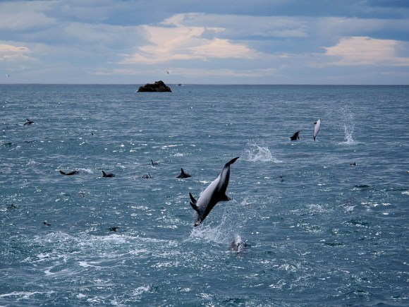 Dusky dolphins off the Kaikoura coast. Photo: Bernd Plonderer.