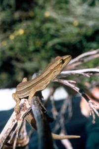 Goldstriped-gecko on Mana Island