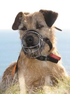 Tiki the conservation dog.