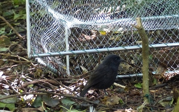 Trying to catch black robin in a drop trap.
