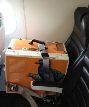 When takahē are translocated they're put in a special Mitre 10 Takahe Rescue transfer box and get their very own seat on an Air New Zealand flight.