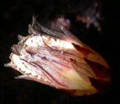 Dactylanthus taylorii.