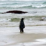 Cheryl Pullar releases a yellow-eyed penguin at Jack's Bay in the Catlins